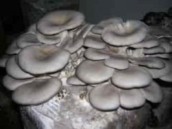 Siccome il fungo che sopporta 1 segni comincia